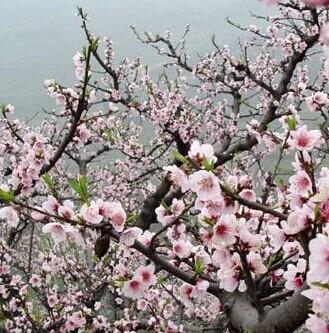 峨眉山春天桃花
