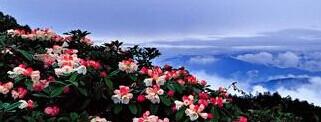 峨眉山春天春季杜鹃花